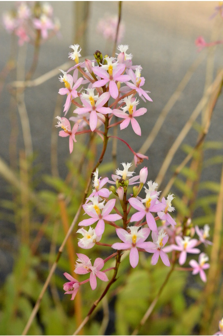 Epidendrum (Crucifix Orchid) - Pink Lady