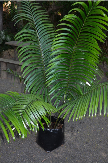 Lepidozamia hopei (Hope's Cycad) - 300mm pot