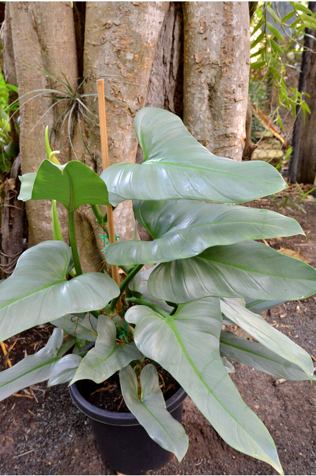 Philodendron hastatum (Silver Sword)